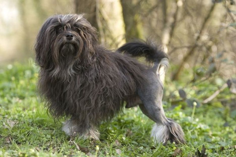 Secondary image of Lowchen dog breed