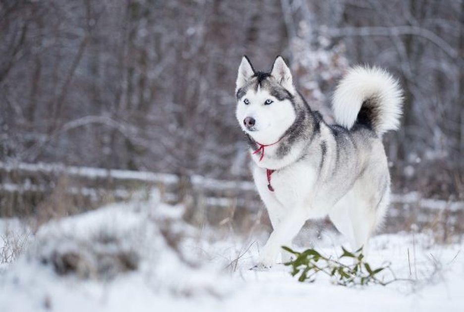 Secondary image of Siberian Husky dog breed