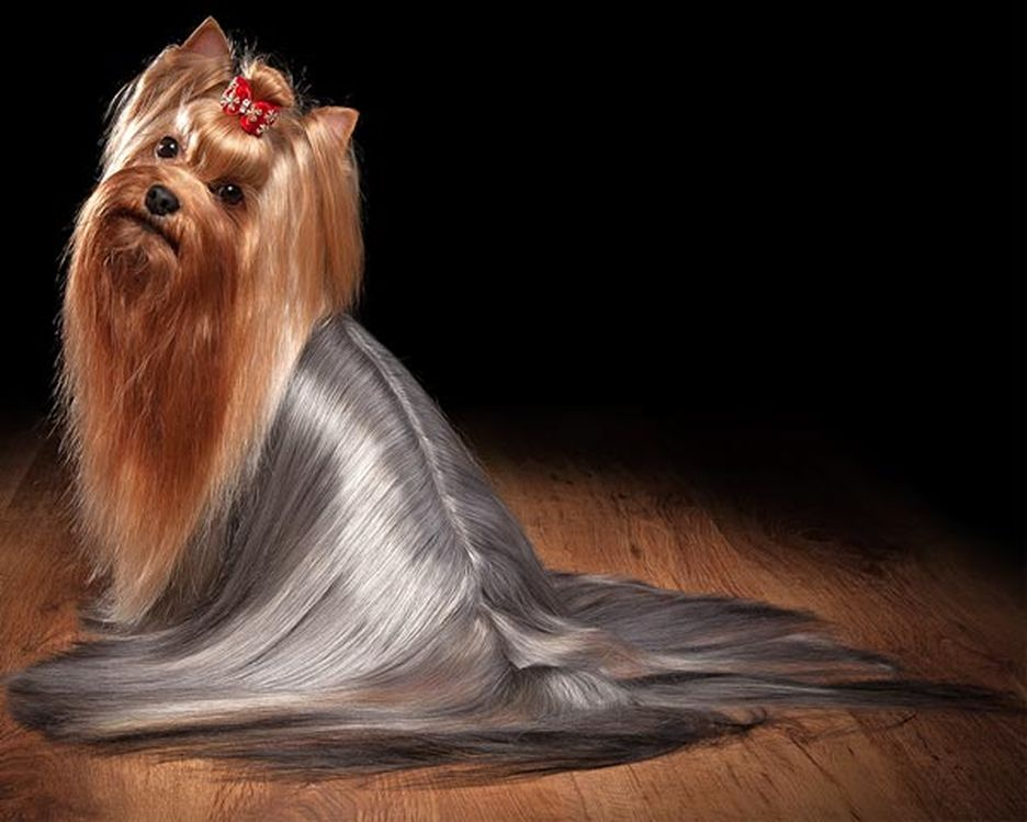 Secondary image of Yorkshire Terrier dog breed