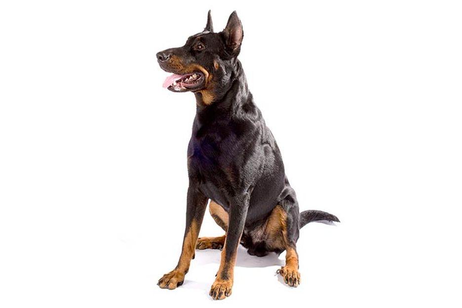 Secondary image of Beauceron dog breed