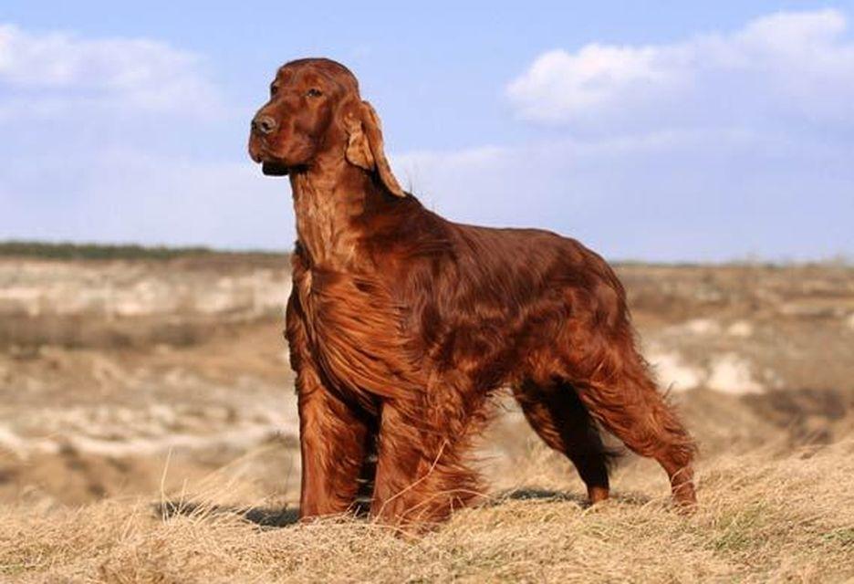 Secondary image of Irish Setter dog breed