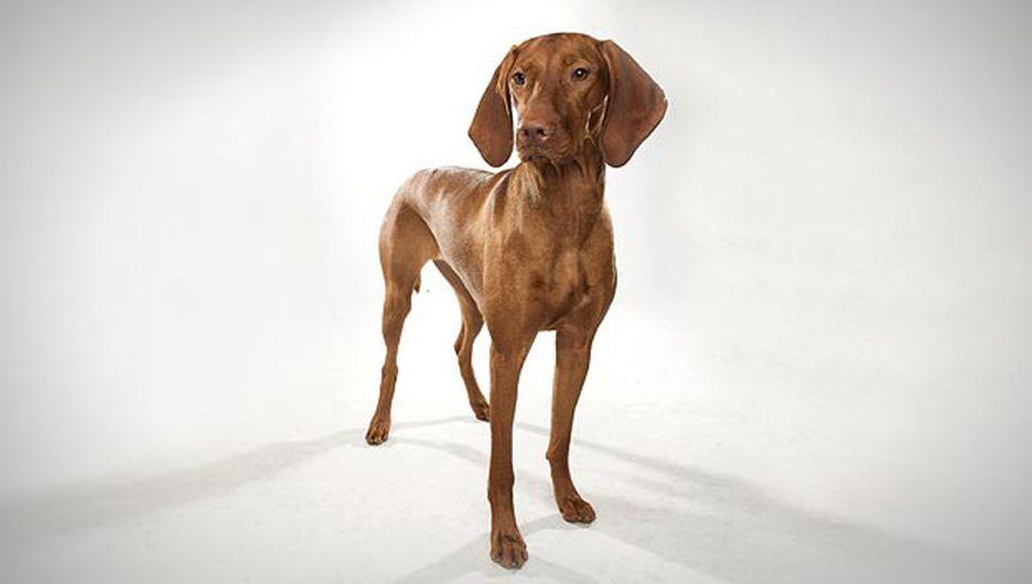 Secondary image of Vizsla dog breed