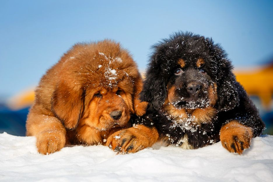 Secondary image of Tibetan Mastiff dog breed
