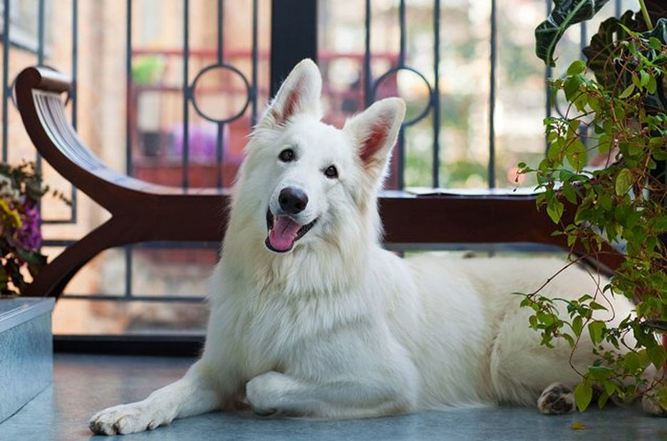 Secondary image of White Shepherd dog breed