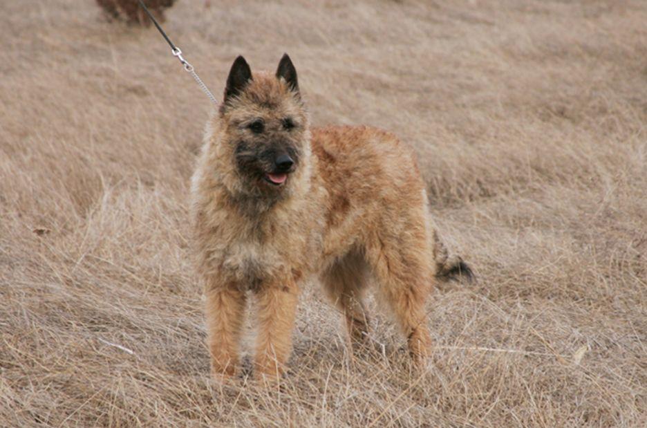 Secondary image of Belgian Laekenois dog breed