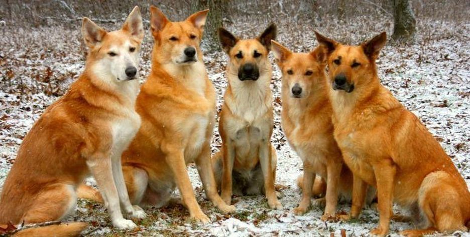 Secondary image of Chinook dog breed