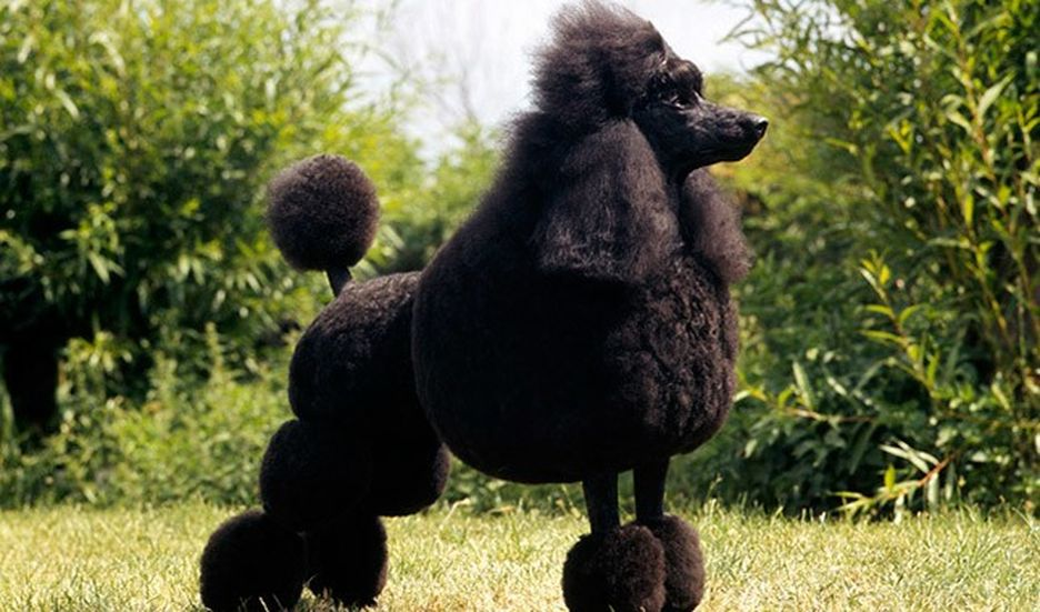 Secondary image of Poodle dog breed