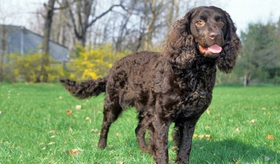 Secondary image of American Water Spaniel dog breed