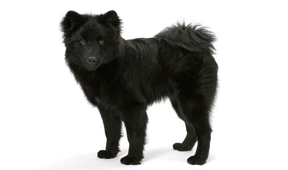 Secondary image of Swedish Lapphund dog breed