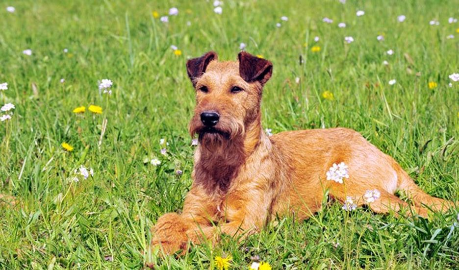 Secondary image of Irish Terrier dog breed