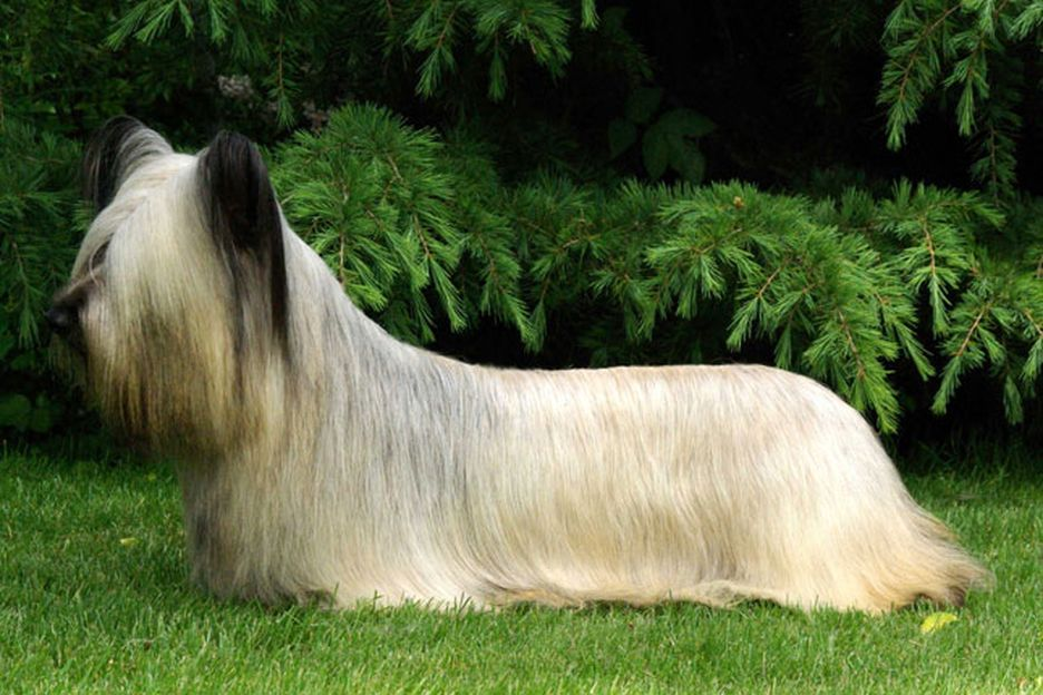 Secondary image of Skye Terrier dog breed
