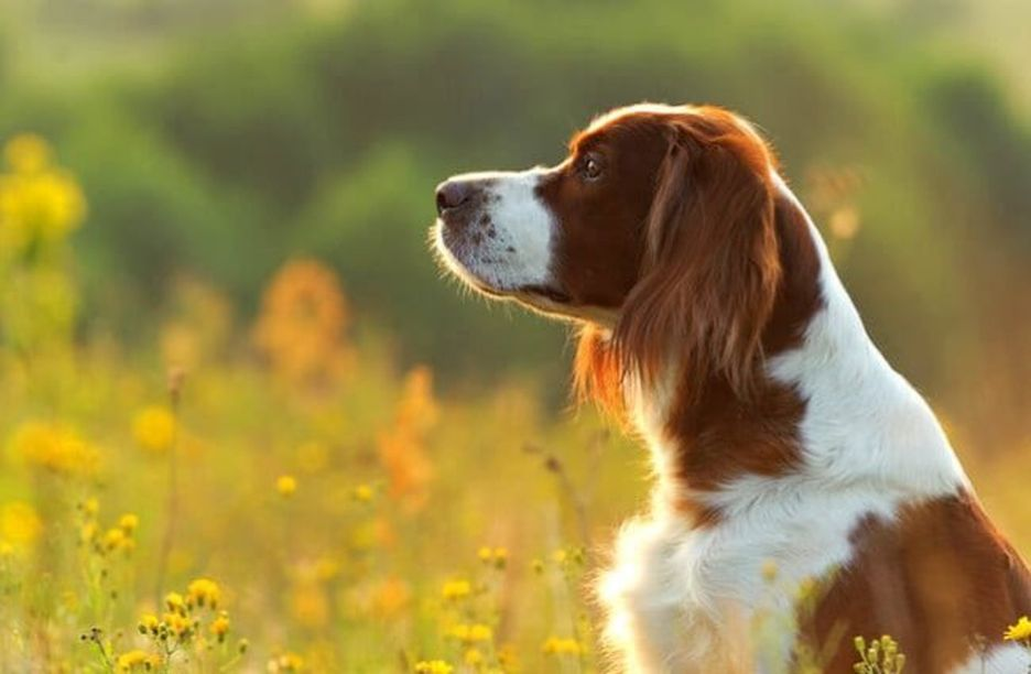 Secondary image of Irish Red and White Setter dog breed