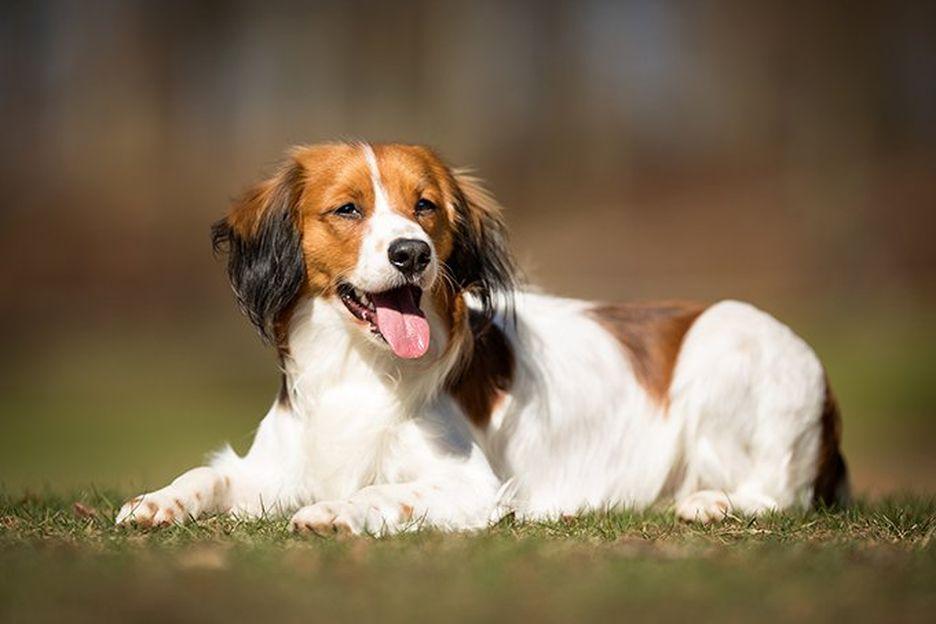Secondary image of Kooikerhondje dog breed