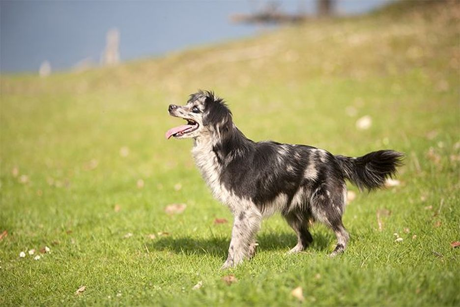 Secondary image of Pyrenean Shepherd dog breed