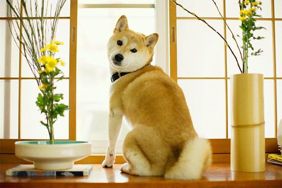 Secondary image of Shiba Inu dog breed