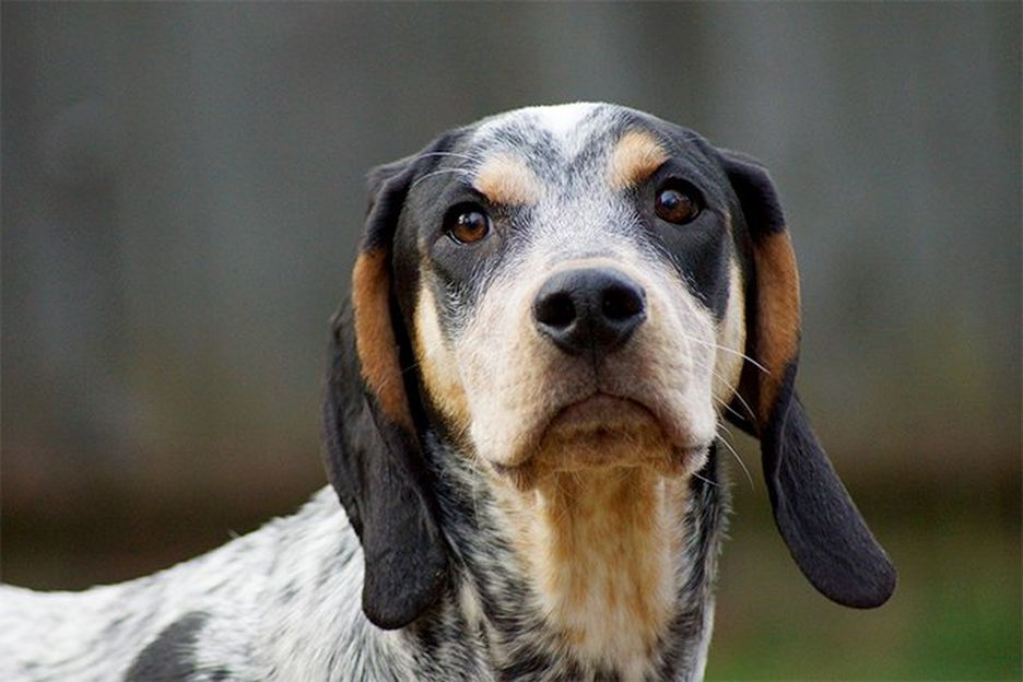 Secondary image of Bluetick Coonhound dog breed