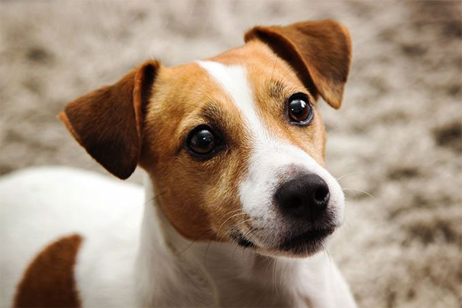 Secondary image of Jack Russell Terrier dog breed