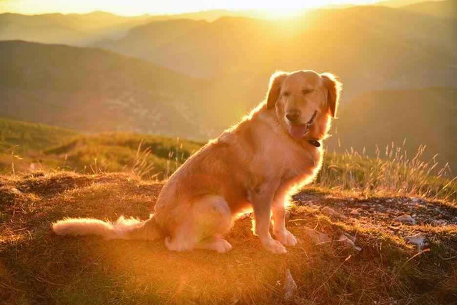Secondary image of Golden Retriever dog breed