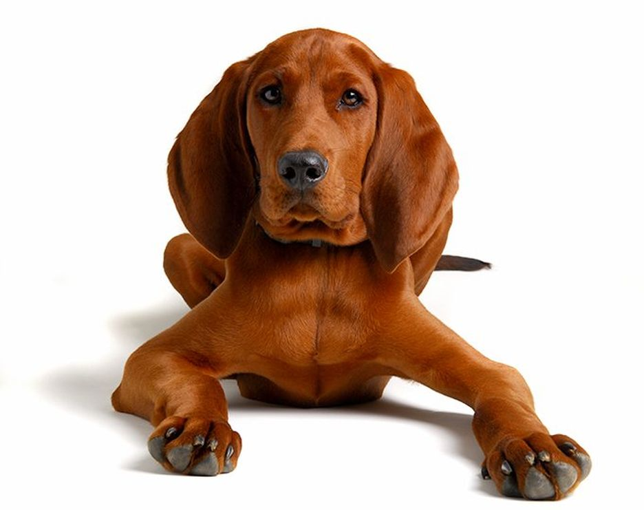 Secondary image of Redbone Coonhound dog breed