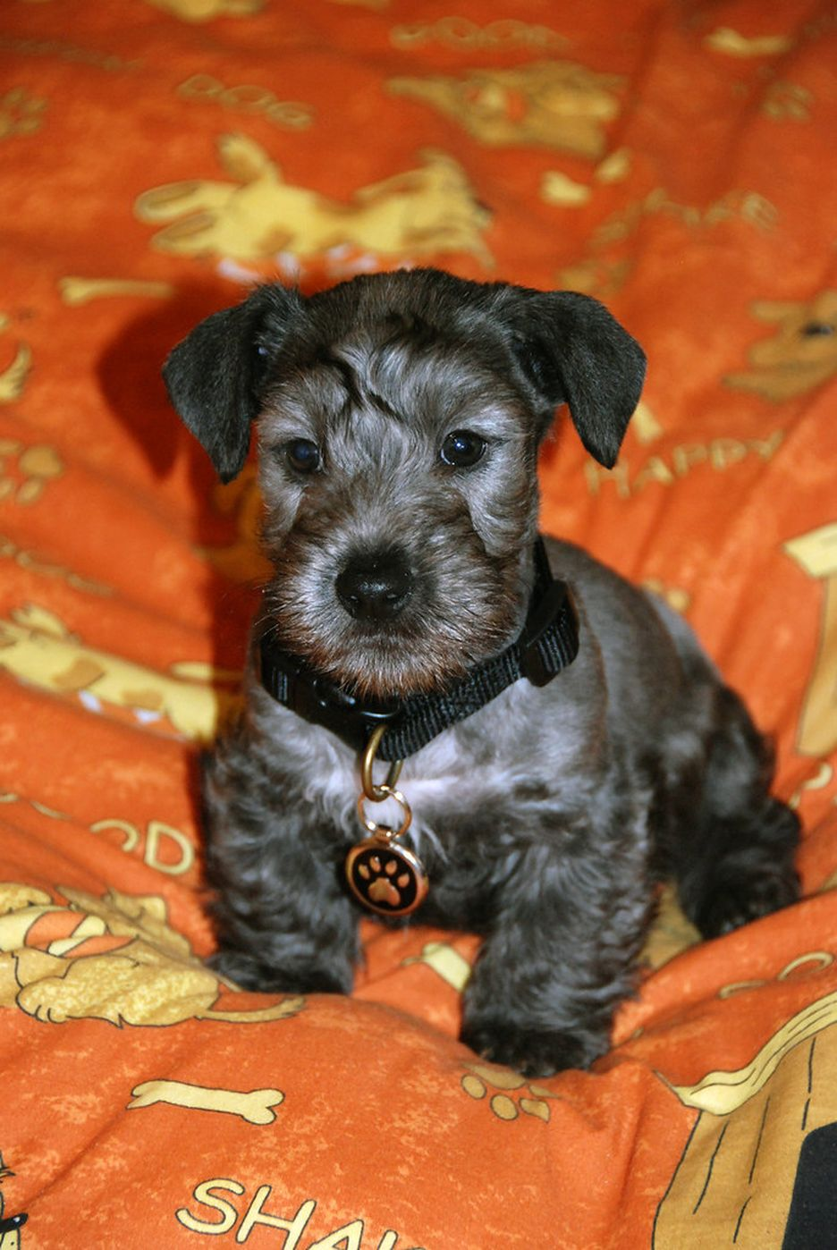 Secondary image of Cesky Terrier dog breed