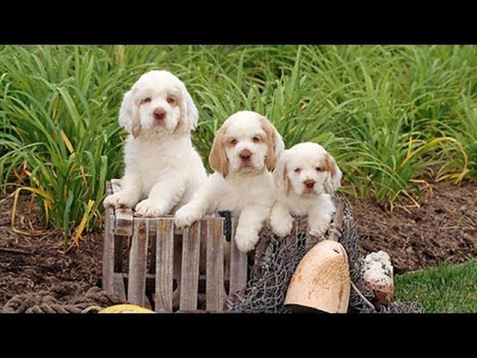 Secondary image of Clumber Spaniel dog breed