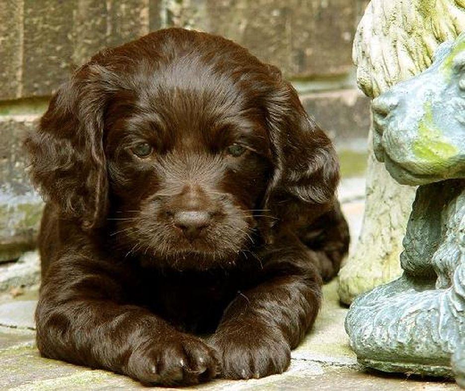 Secondary image of Boykin Spaniel dog breed