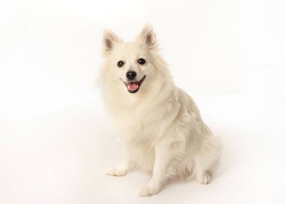 Secondary image of Volpino Italiano dog breed
