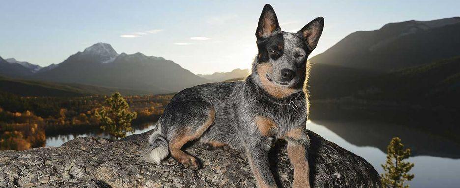 Secondary image of Australian Cattle Dog dog breed