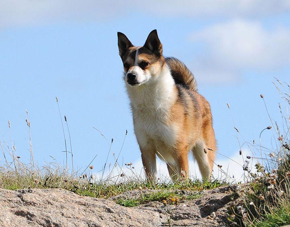 Secondary image of Norwegian Lundehund dog breed