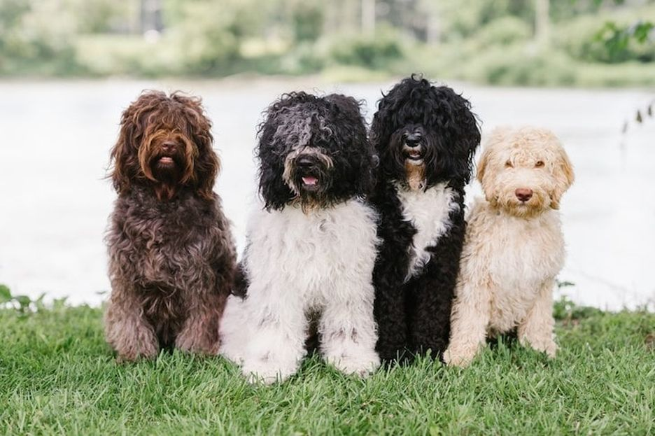 Secondary image of Barbet dog breed