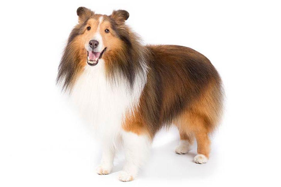 Secondary image of Shetland Sheepdog dog breed
