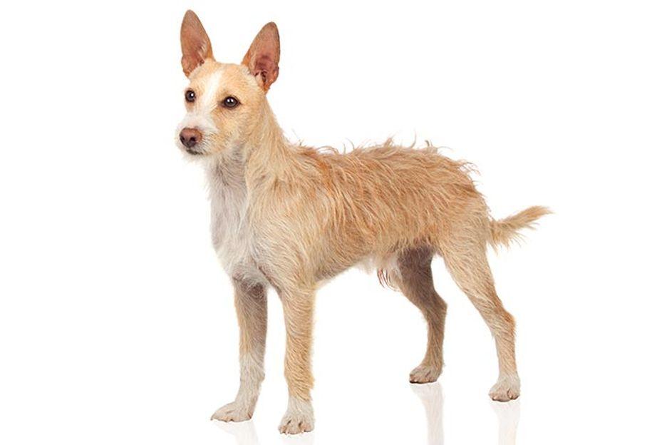 Secondary image of Portuguese Podengo dog breed
