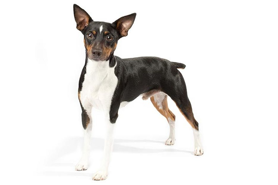 Secondary image of Rat Terrier dog breed