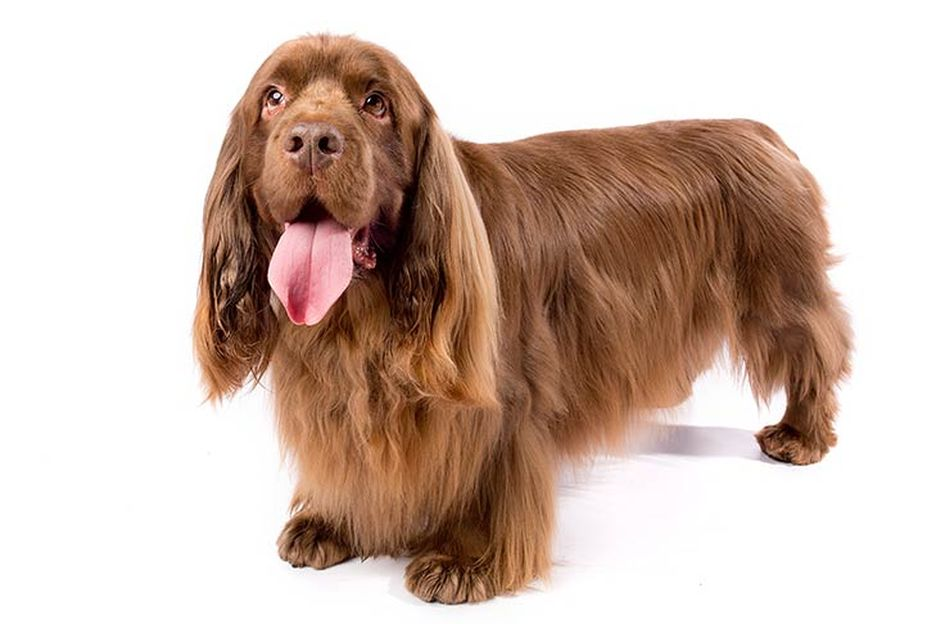 Secondary image of Sussex Spaniel dog breed