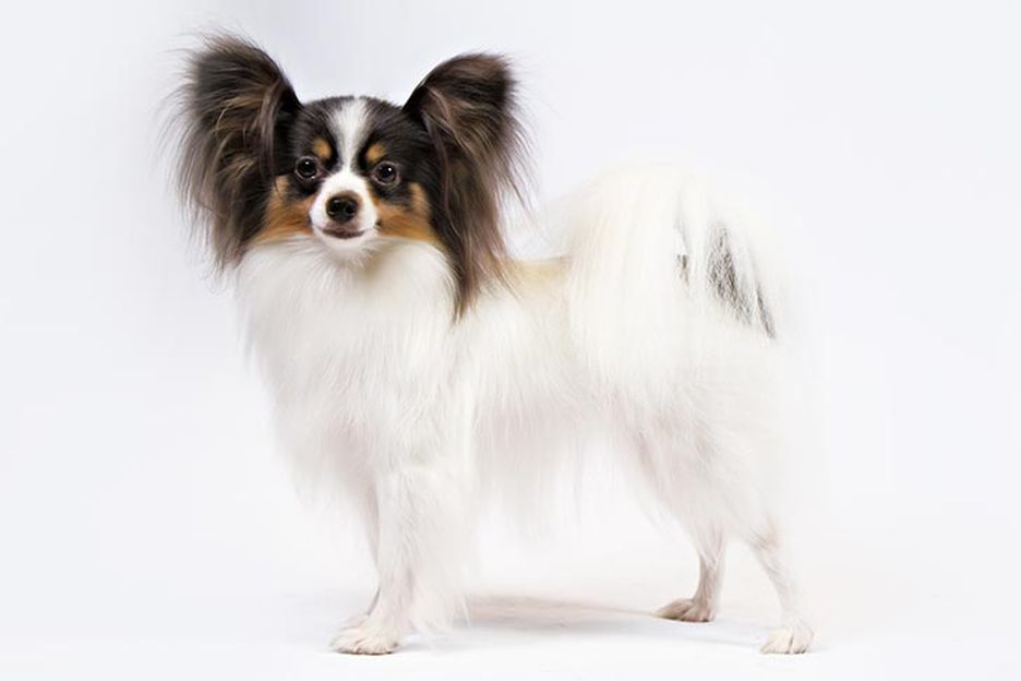Secondary image of Papillon dog breed