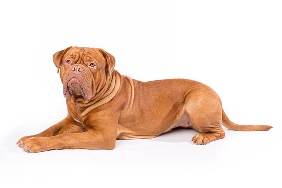 Secondary image of Dogue de Bordeaux  dog breed