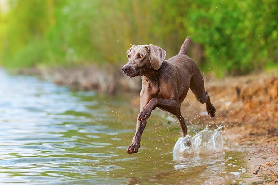 Secondary image of Weimaraner dog breed