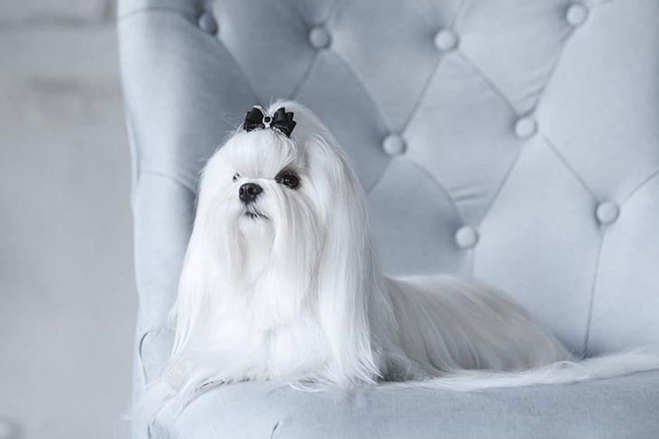 Secondary image of Maltese dog breed