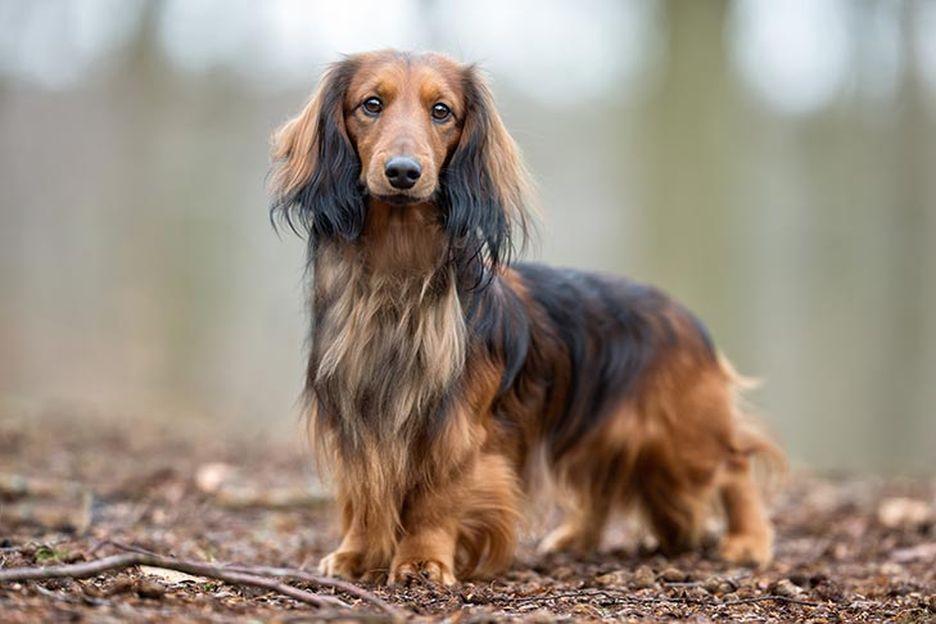 Secondary image of Dachshund dog breed