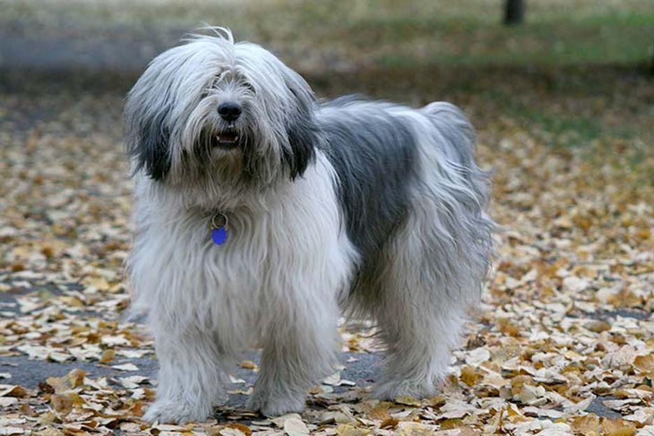 Secondary image of Polish Lowland Sheepdog dog breed