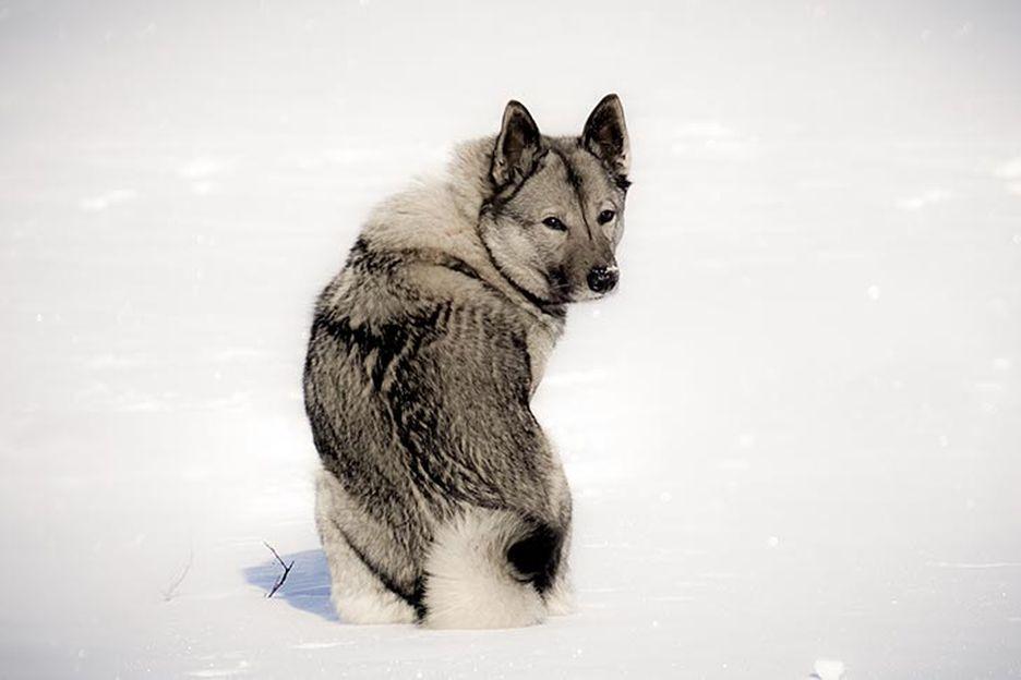 Secondary image of Norwegian Elkhound dog breed