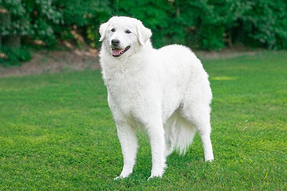Secondary image of Kuvasz dog breed