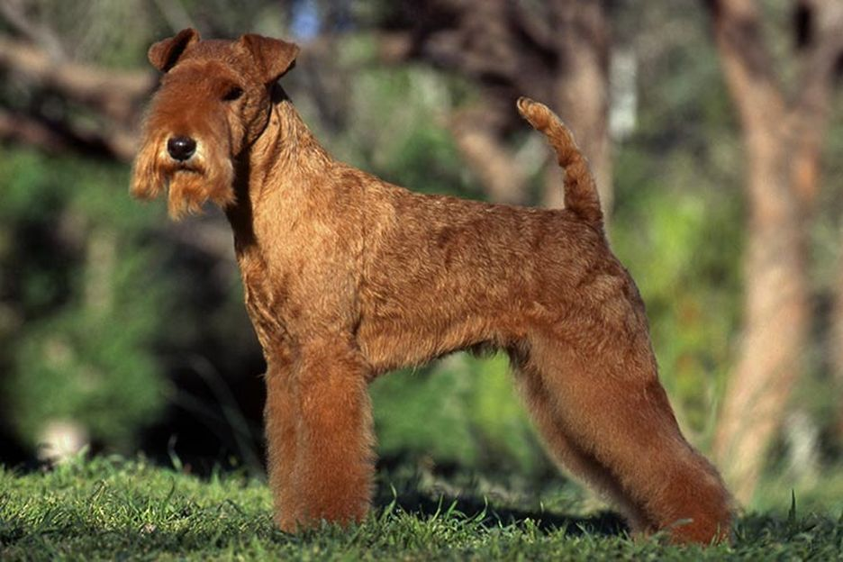 Secondary image of Lakeland Terrier dog breed