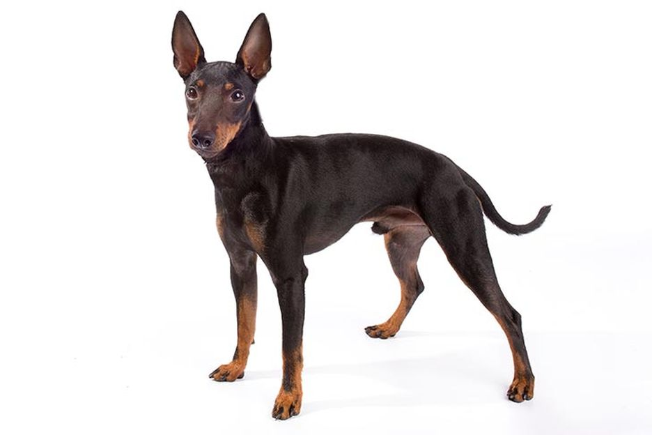 Secondary image of Manchester Terrier dog breed