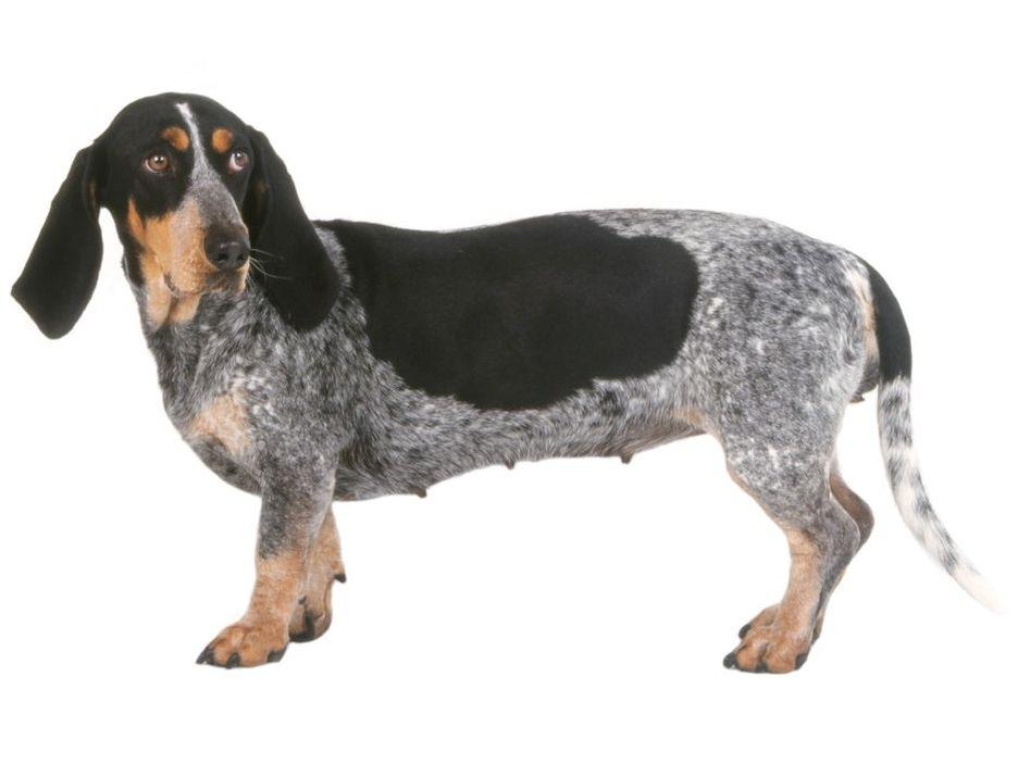 Secondary image of Basset Bleu De Gascogne dog breed