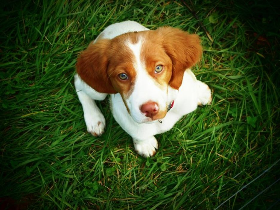Secondary image of Brittany dog breed