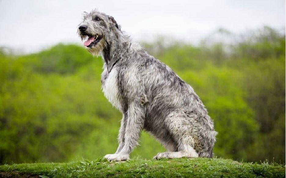 Secondary image of Irish Wolfhound dog breed