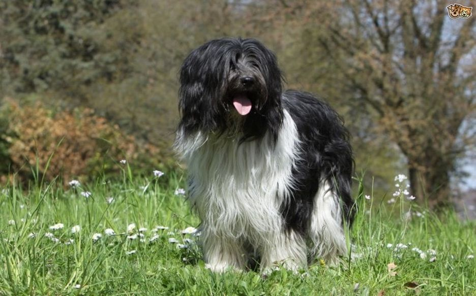 Secondary image of Schapendoes dog breed
