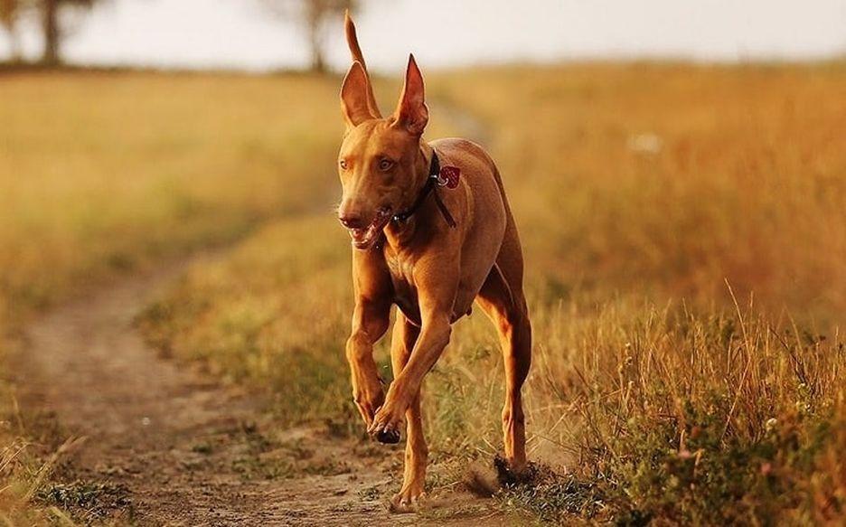 Secondary image of Pharaoh Hound dog breed