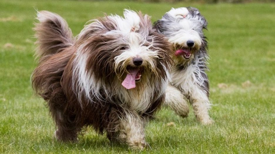 Secondary image of Bearded Collie dog breed